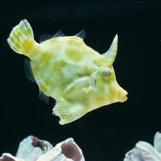 Acreichthys tomentosus -Единорог щетинохвостый