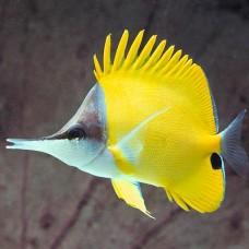 Forcipiger flavissimus -Бабочка пинцет желтая