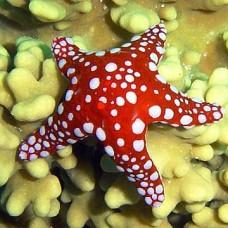 Fromia milleporella -морская звезда