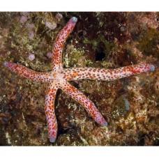 Linckia multiflora звезда Линкия
