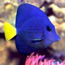 Zebrasoma xanthurus Зебрасома желтохвостая