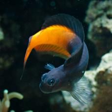 Escenius bicolor -Собачка биколор