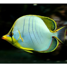Chaetodon xanthocephalus -Бабочка желтоголовая