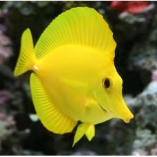 Zebrasoma flavescens -желтая Зебрасома