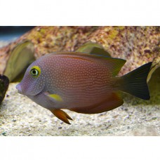 Ctenochaetus truncatus - Ктенохет желтоглазый
