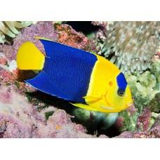 Centropyge bicolor - Центропиг двухцветный