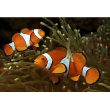 Amphiprion ocellaris - Амфиприон Оцеллярис (рыба клоун)
