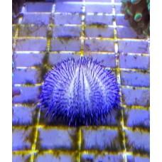 Pseudoboletia sp. Purple
