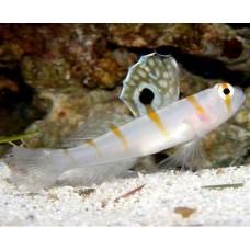 Amblyeleotris randalli (Бычок - креветка)