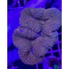 Lobophyllia (Лобофилия австралийская)