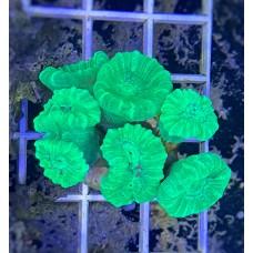 Caulastrea spp. (Кауластрея)
