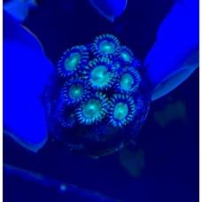 Zoanthus spp Зоантусы