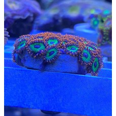 Zoanthids Emerald on fire Зоантусы