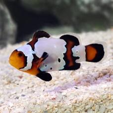 Premium Black Ice Snowflake Clownfish (премиум черный лед)